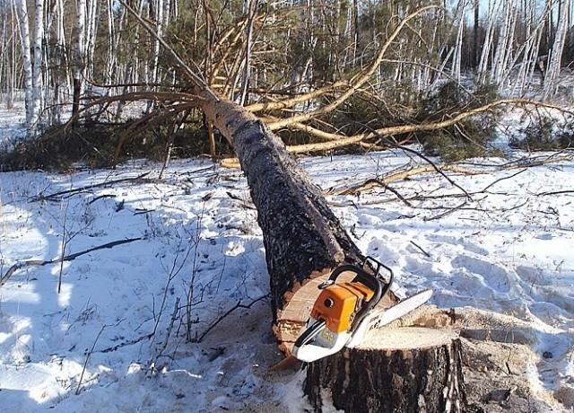 Срубленное бензопилой дерево
