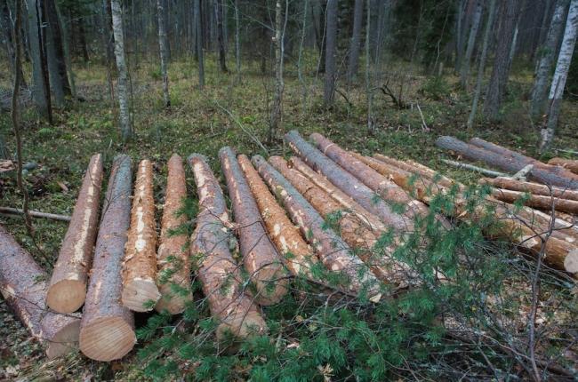 Бревна свежесрубленного леса